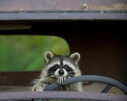 photo of raccoon behind the wheel of a car